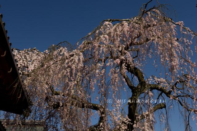 奈良・氷室神社 枝垂れ桜8