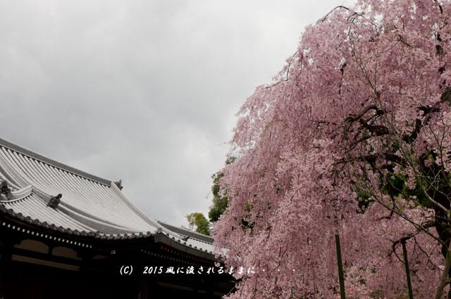 【2015年桜を求めて・・・】 京都・法金剛院の枝垂れ桜1