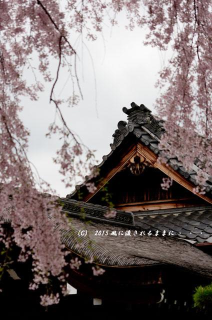 【2015年桜を求めて・・・】 京都・法金剛院の枝垂れ桜2
