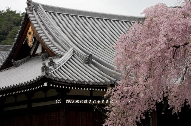 【2015年桜を求めて・・・】 京都・法金剛院の枝垂れ桜3