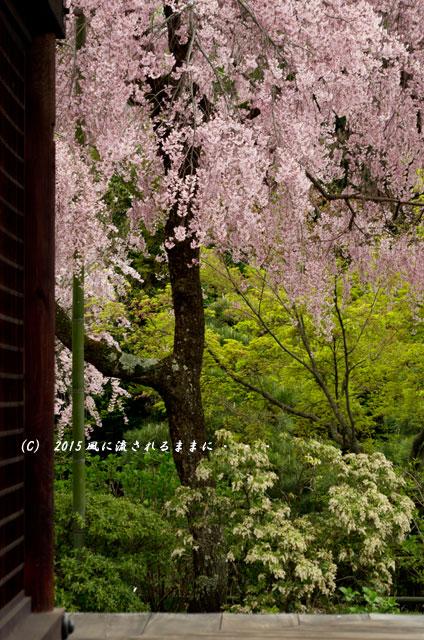 【2015年桜を求めて・・・】 京都・法金剛院の枝垂れ桜4
