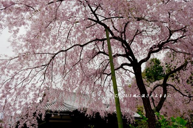 【2015年桜を求めて・・・】 京都・法金剛院の枝垂れ桜6