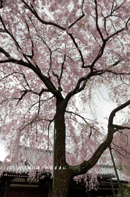 【2015年桜を求めて・・・】 京都・法金剛院の枝垂れ桜7