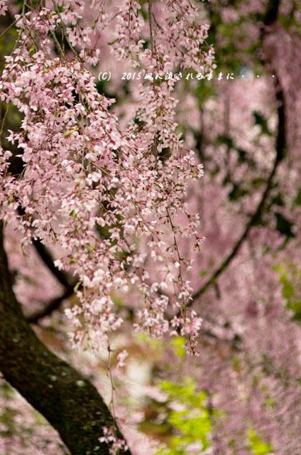 【2015年桜を求めて・・・】 京都・法金剛院の枝垂れ桜8