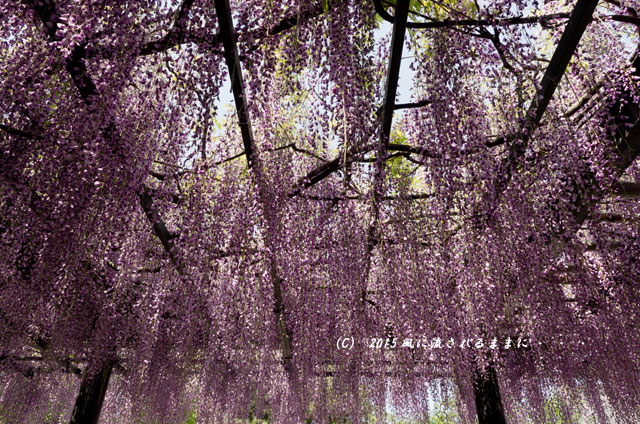 大阪・葛井寺 藤の花1