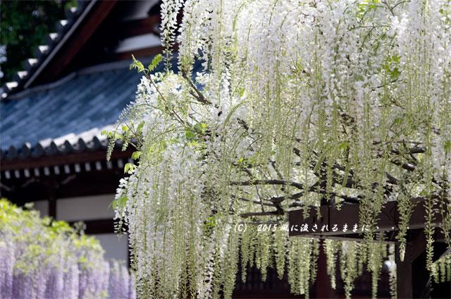 大阪・葛井寺 藤の花10