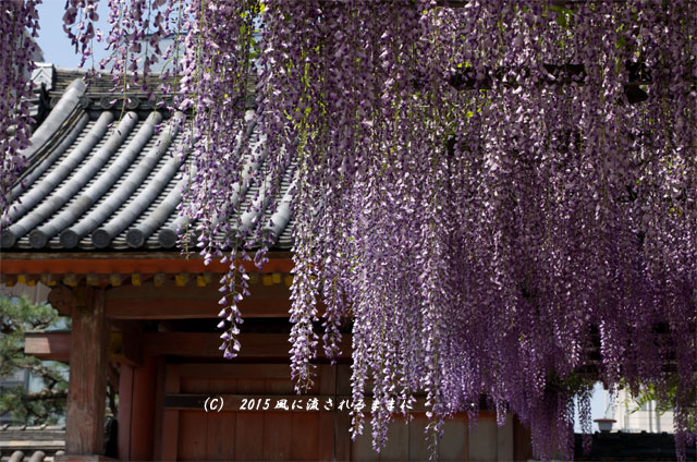 大阪・葛井寺 藤の花6