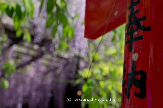 大阪・葛井寺 藤の花8