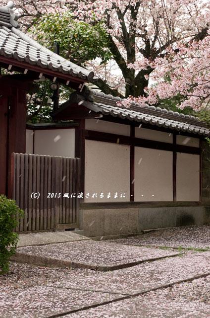 【2015年桜を求めて・・・】 京都・妙蓮寺 桜1