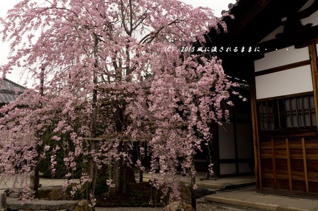 【2015年桜を求めて・・・】 京都・妙蓮寺 桜10