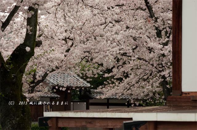 【2015年桜を求めて・・・】 京都・妙蓮寺 桜6