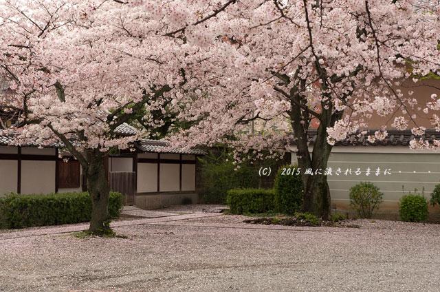 【2015年桜を求めて・・・】 京都・妙蓮寺 桜7