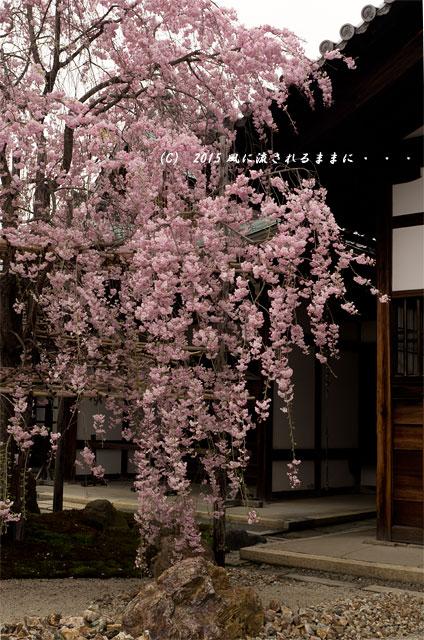 【2015年桜を求めて・・・】 京都・妙蓮寺 桜9