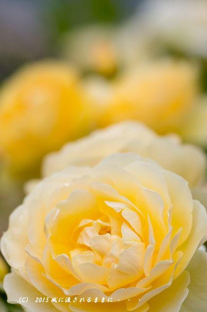 2015年5月 大阪・花の文化園 バラの花1