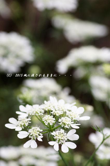 2015年5月 大阪・花の文化園 バラの花2