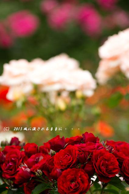 2015年5月 大阪・花の文化園 バラの花3