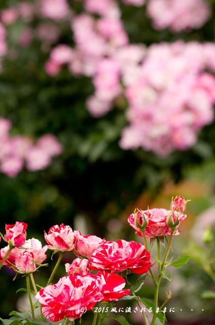 2015年5月 大阪・花の文化園 バラの花4