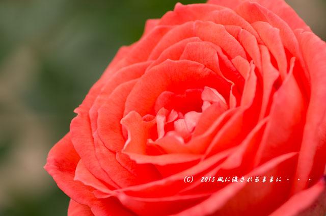 2015年5月 大阪・花の文化園 バラの花6