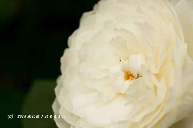 2015年5月 大阪・花の文化園 バラの花7