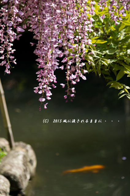 2015年5月 和歌山・子安地蔵寺 藤の花13
