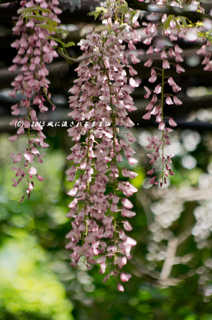 2015年5月 和歌山・子安地蔵寺 藤の花2