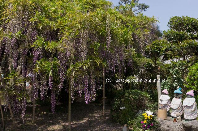 2015年5月 和歌山・子安地蔵寺 藤の花3