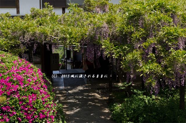 2015年5月 和歌山・子安地蔵寺 藤の花4