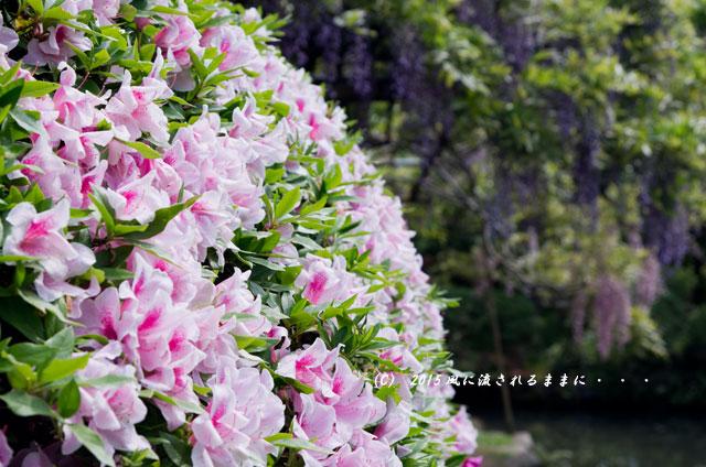 2015年5月 和歌山・子安地蔵寺 藤の花5
