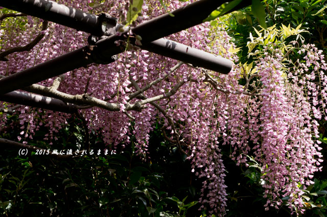 2015年5月 和歌山・子安地蔵寺 藤の花6