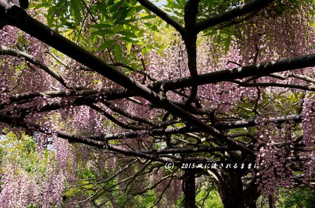 2015年5月 和歌山・子安地蔵寺 藤の花8