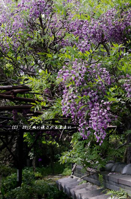 2015年5月 和歌山・子安地蔵寺 藤の花9