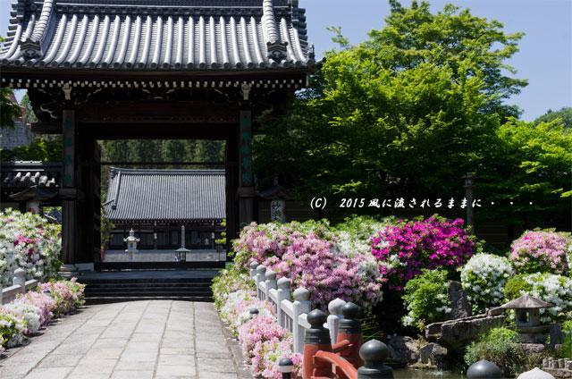 2015年5月 京都・妙満寺のツツジ5