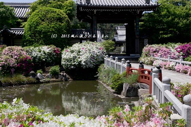 2015年5月 京都・妙満寺のツツジ1