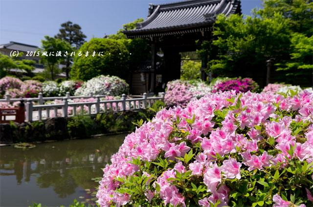 2015年5月 京都・妙満寺のツツジ2