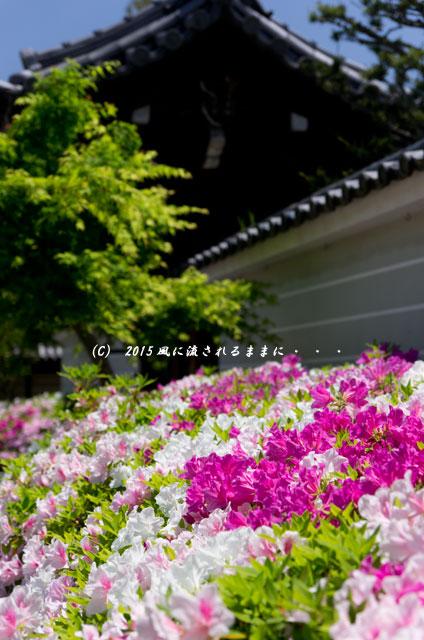 2015年5月 京都・妙満寺のツツジ6