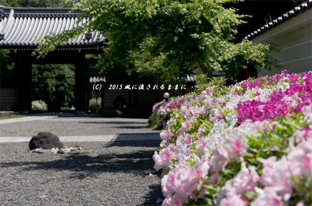 2015年5月 京都・妙満寺のツツジ7