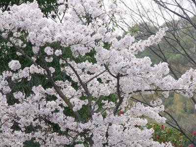 みろくの里/園外の桜