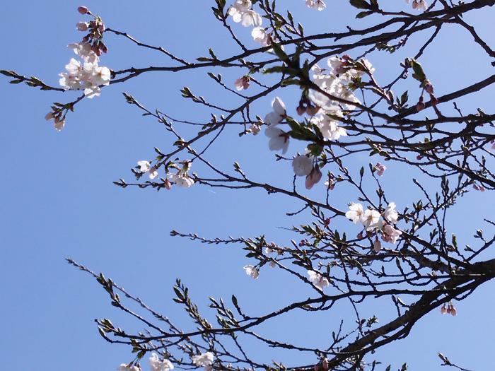 もう一度 お花見を楽しむなら!世界遺産 白川郷へ温泉旅 ②