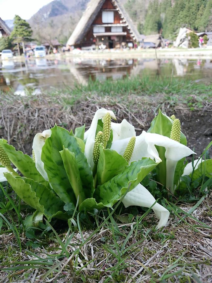 もう一度 お花見を楽しむなら!世界遺産 白川郷へ温泉旅 ⑨