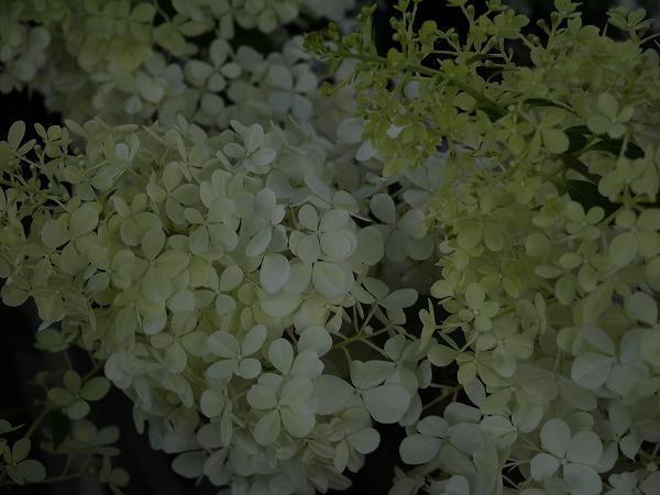 ノリウツギ・バニラフレーズ