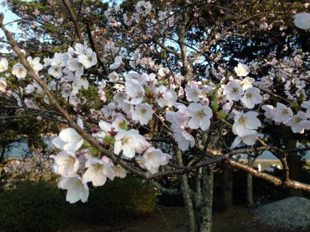 城崎温泉 桜(サクラ)の開花情報。(東山公園)