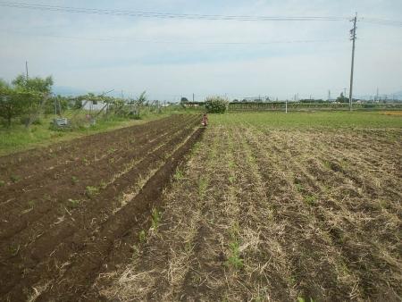 大豆の除草作業