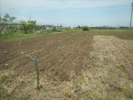 大豆畑 (1)