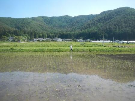 田んぼにカビ麦 (7)