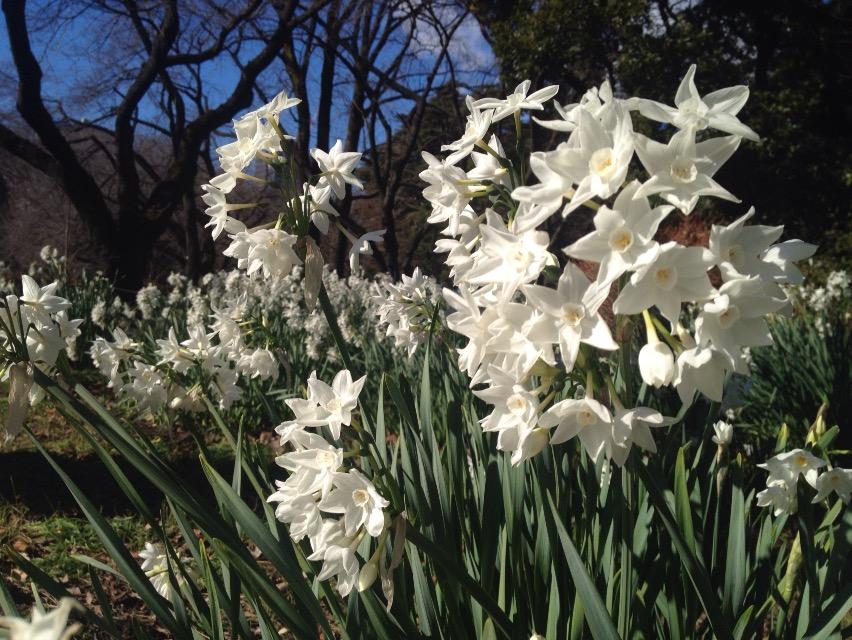 新宿御苑のパーパーホワイト