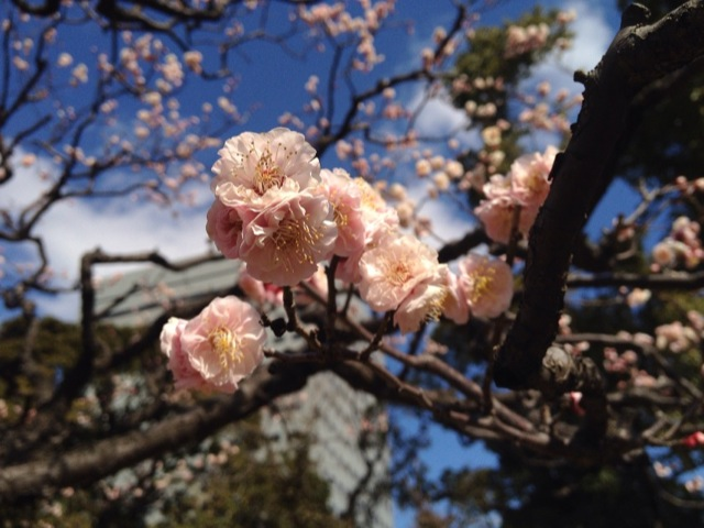 浜離宮恩賜庭園の梅