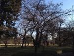 皇居東御苑の河津桜