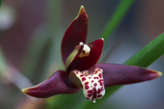 Maxillaria tenuifolia-01
