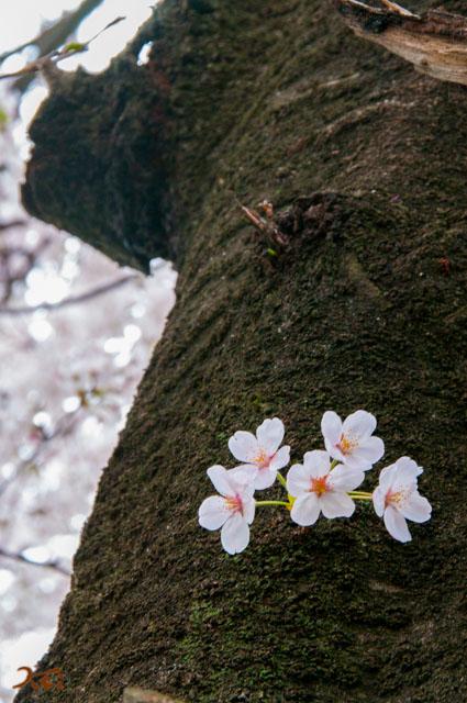 20150405桜_笠懸10