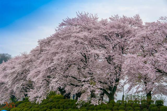 20150405桜_笠懸03
